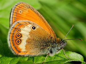 papillon-rhopalocères