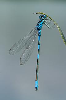 odonates-libellules