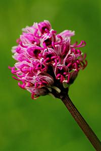 Orchidée-fleurs